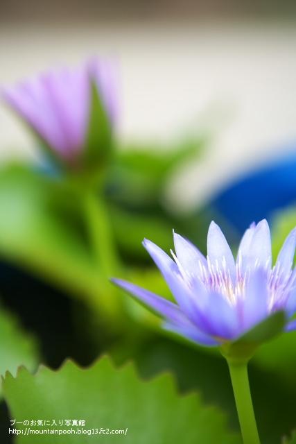 由布島の花7