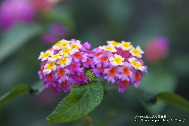 由布島の花8