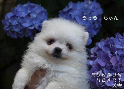 うぅう ちゃん 紫陽花
