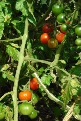 ステラミニトマト090929