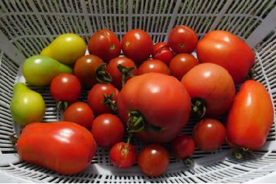 トマト収穫期090929