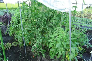 トマト全体090911