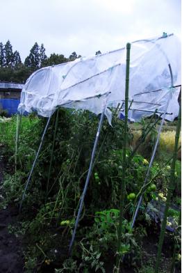 トマト屋根倒壊の危機