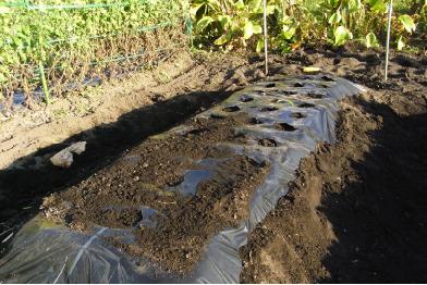玉ねぎを植えた後