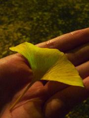 熊本県庁プロムナードのイチョウ並木ライトアップ♪