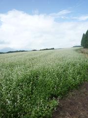 タダイマ満開!阿蘇・波野村の700万本のそば畑☆
