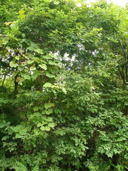 シラキトビナナフシの群れるミズナラ