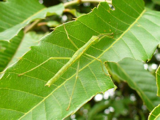 クリの葉上のシラキトビナナフシ