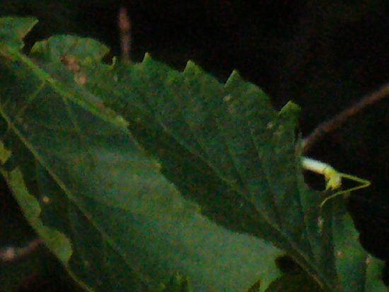 ミズナラの葉上のシラキトビナナフシ6令と成虫