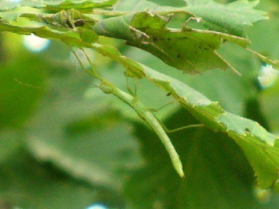 シラキトビナナフシの6令幼虫