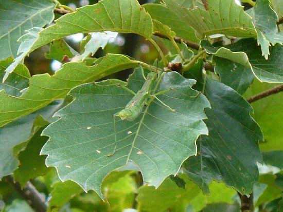 コナラ葉上のシラキトビナナフシ