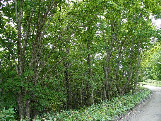 シラキトビナナフシの生息する雑木林