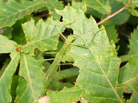 葉を食べるシラキトビナナフシ