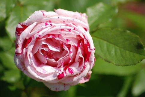 rose12-1.jpg