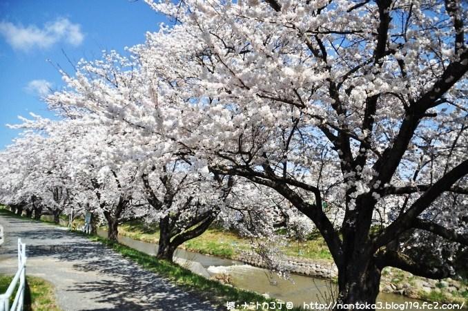 藤田川ふれあい桜