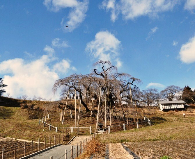 三春滝桜・2010年1月