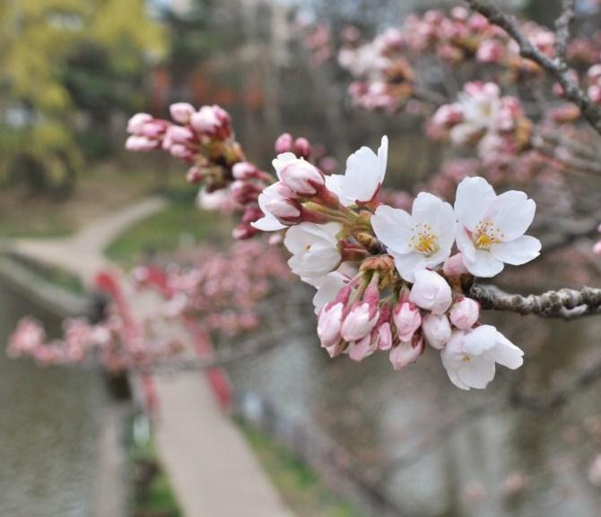 酒蓋公園の桜