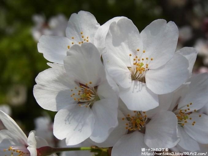 中学校の桜