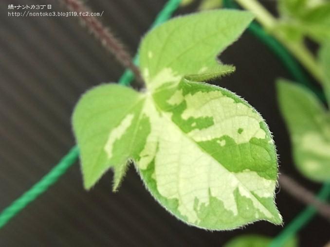 アサガオの葉