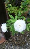残暑の白バラ