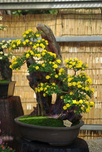 菊花盆栽2