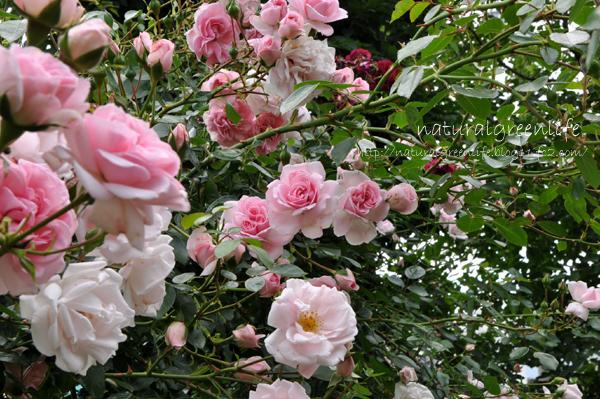 薔薇 ホーム&ガーデン ニュードーン