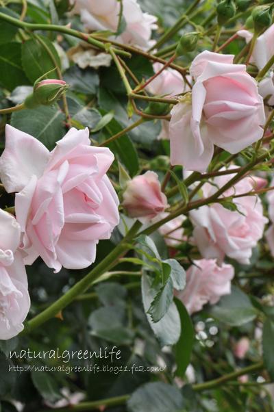 薔薇 ニュードーン