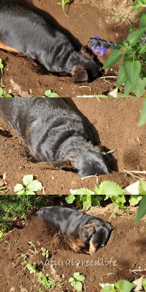 るび 穴掘り