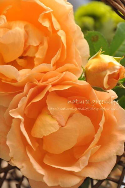 薔薇 ポルカ