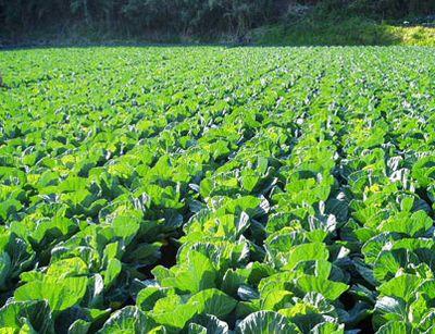 cabbagepatch.jpg