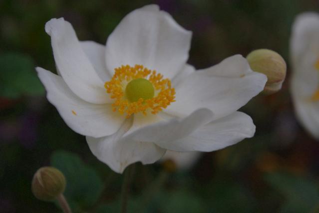 秋明菊 (2)