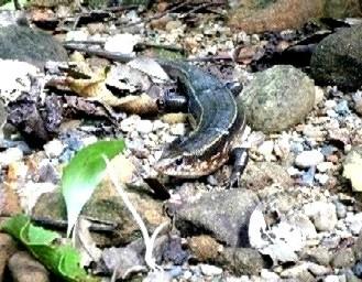 カエルを狙うキシノウエトカゲ