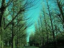 慶応大学 日吉の並木道