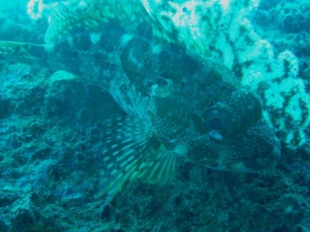 scorpion fish log