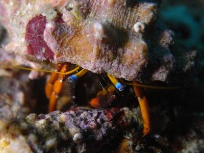 サンゴヤドカリ属