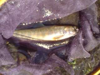 20110606 雑魚川で釣れた