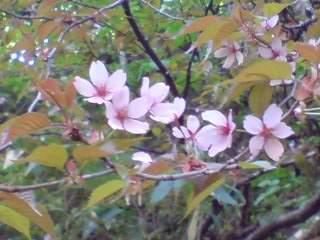 20110606 雑魚川山桜