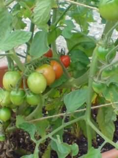 20110715 プチトマト