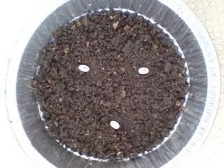 20110729 カナヘビの卵
