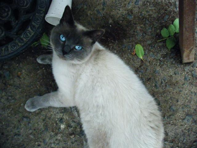 シャム猫 チー