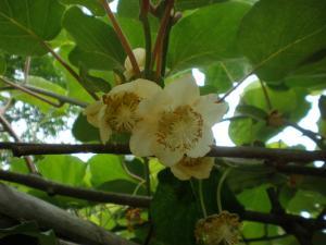 キュウイフルーツ花