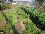 自家野菜畑