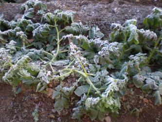 ジャガイモが霜に
