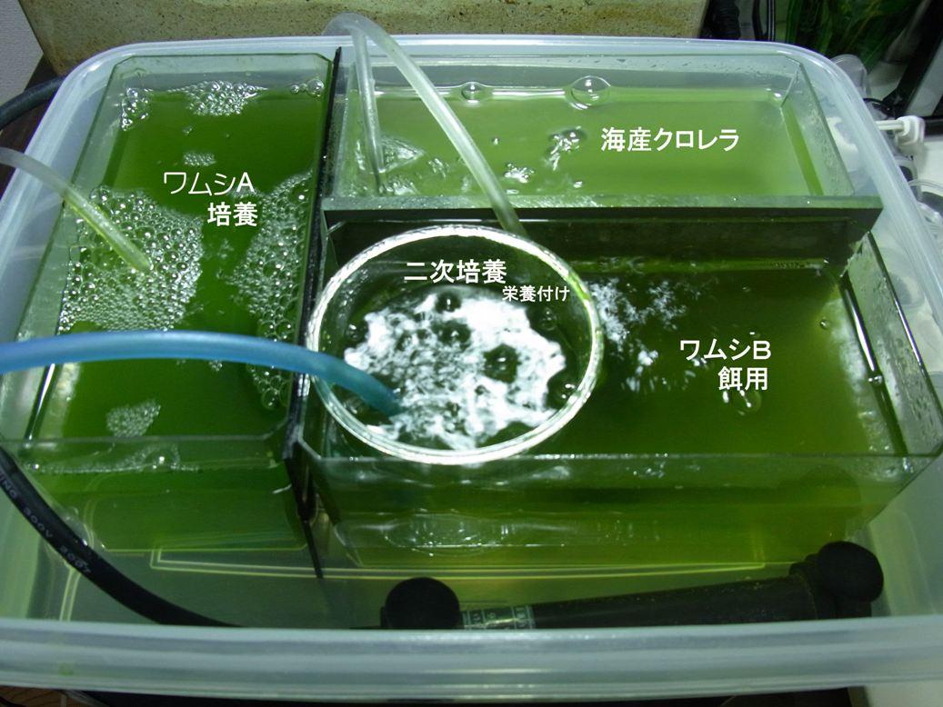 ワムシとクロレラの培養20100331