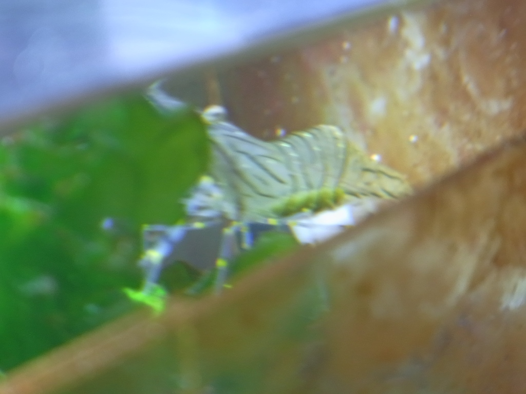 イソスジ抱卵20100609
