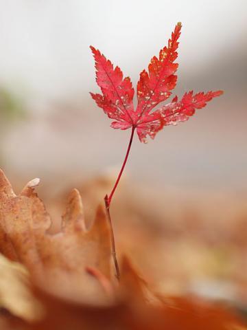 モミジ芽生え紅葉