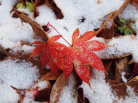 モミジ落葉&雪