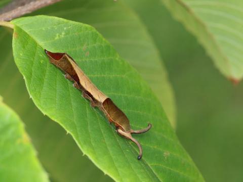 スミナガシ幼虫110718-1