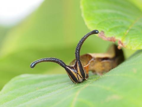 スミナガシ幼虫110718-2