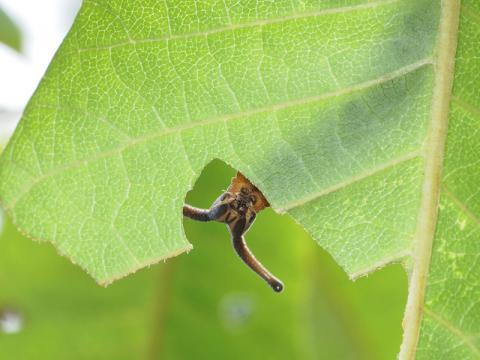 スミナガシ幼虫110718-3